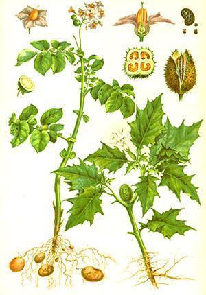 Картофель как декоративное растение