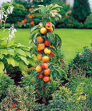 Посадка колоновидной яблони, уход летом, схема обрезки видео