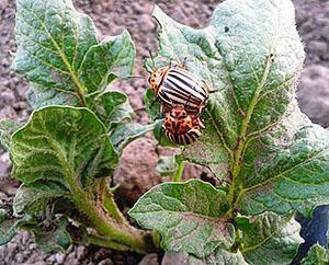 Колорадский жук на картофельном кусте
