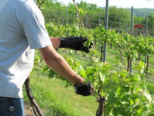 Летняя формировка винограда
