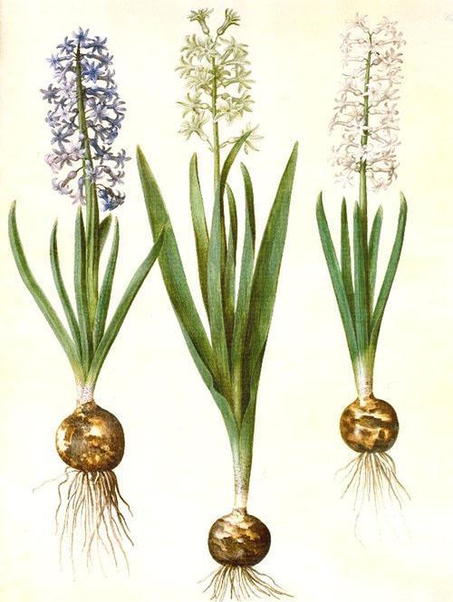 Луковица, стебель и цветок гиацинта