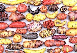 Многовековая история картофеля