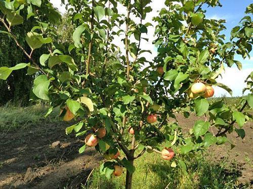 Молодая яблоня Грушовка московская