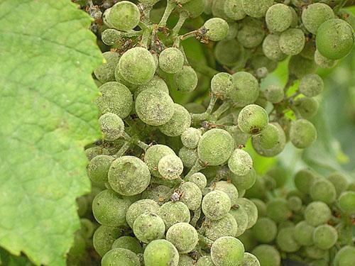 Необходима обработка винограда
