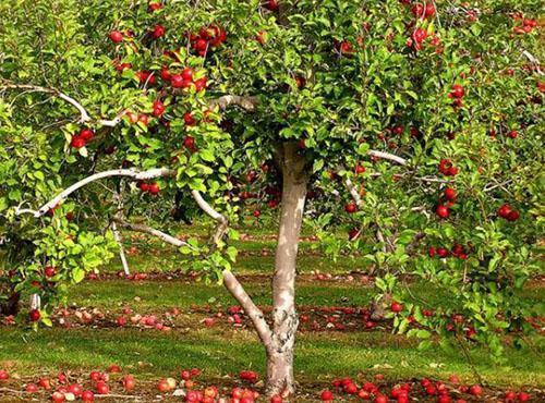 Необходимо убирать опавшие яблоки