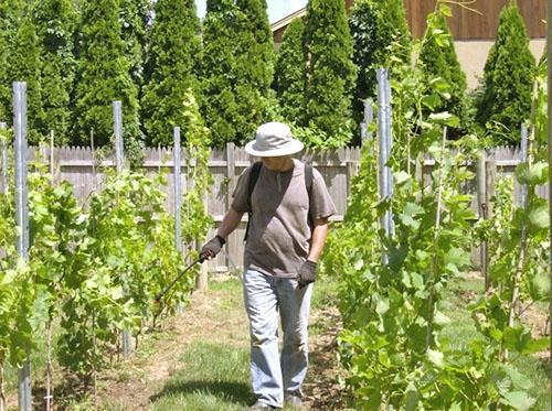 Обработка винограда после дождя