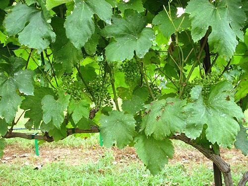 Обрезка поможет ускорить процесс созревания винограда