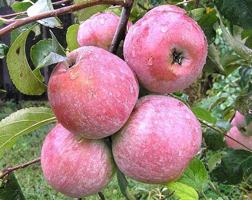 Омытые дождем яблоки Медуницы
