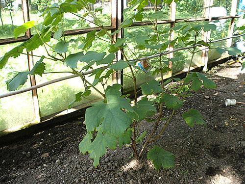 Опрыскивание виноградного куста