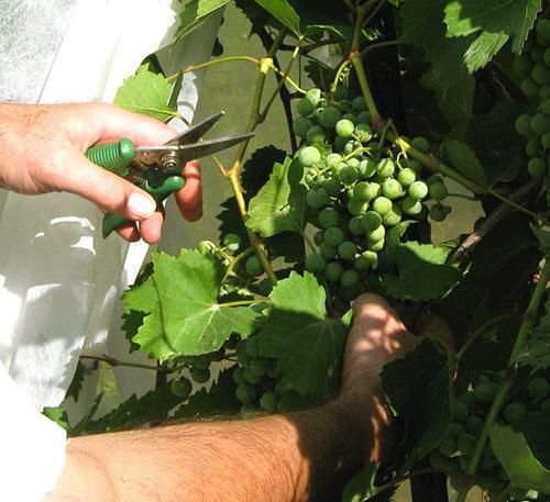 Как провести обрезку винограда летом от ненужных побегов видео