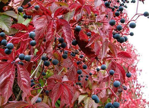 Осенний вид девичьего винограда