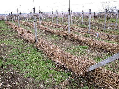 Осенняя обрезка винограда и подготовка к зимовке