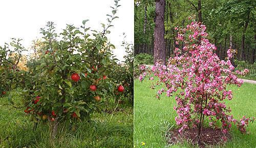 Отличие карликовых яблонь от колоновидных