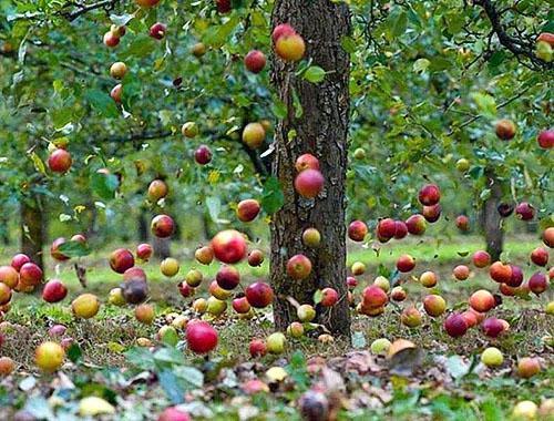 Падают яблоки с неухоженных деревьев