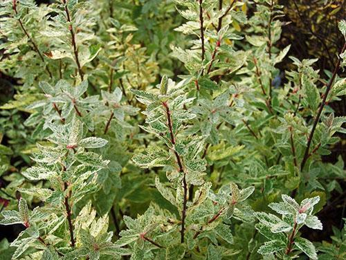 Пестрая листва спиреи Вангутта