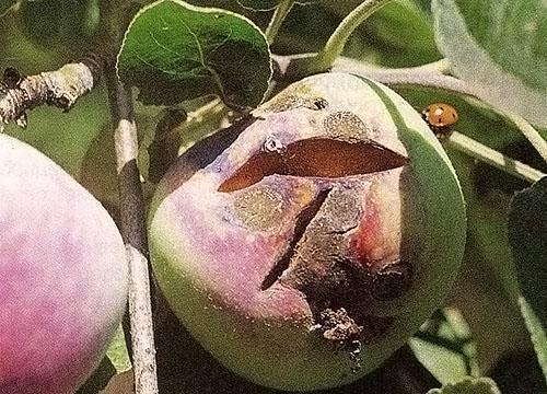 Плоды дерева зараженного паршой