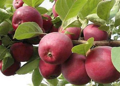 Плоды сорта Орлинка