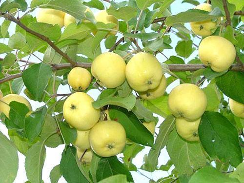 Плоды сорта Уральское наливное