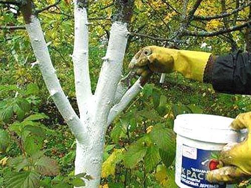 Побелка стволов яблони как борьба с плодожоркой