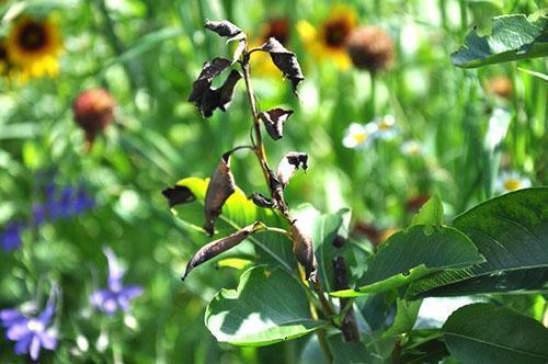 Почернение листвы жимолости