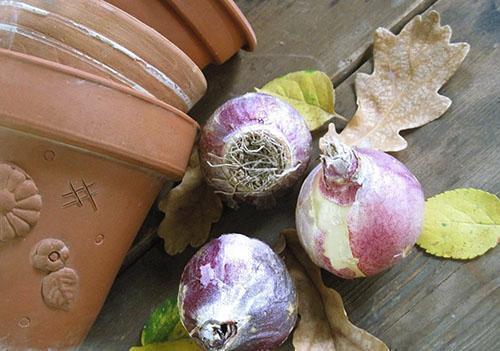 Подготовка луковиц к хранению