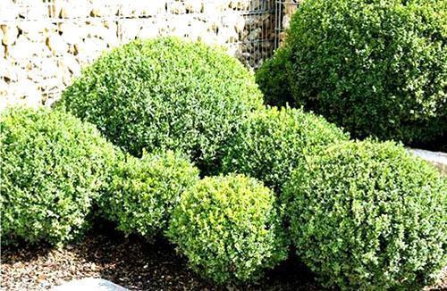 Посадки самшита следует располагать возле стен, чтобы они не страдали от солнца и ветров ранней весной