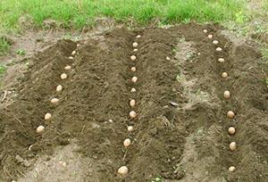 Поздние сроки посадки картофеля