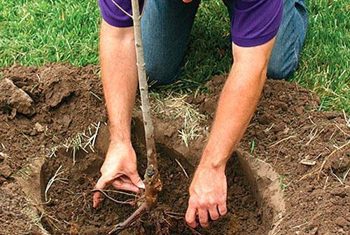 Правильная посадка яблони залог будущего урожая