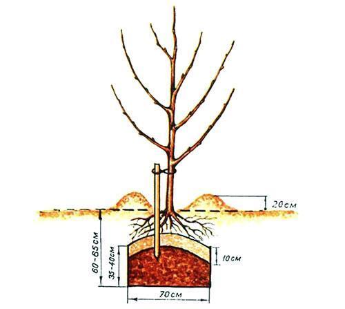 wann apfelbaum düngen