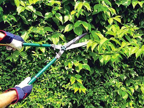 Придание нужной формы декоративному кустарнику