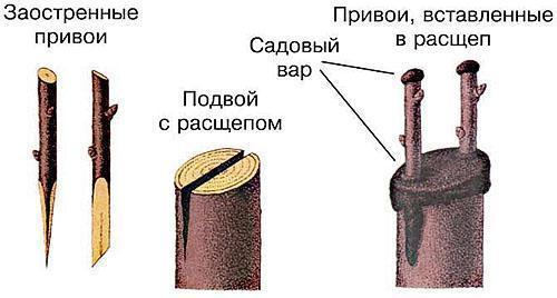 Прививка в расщеп, смазка садовым варом