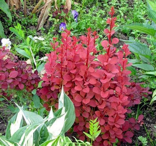 Пурпурнолистный барбарис в садовой композиции