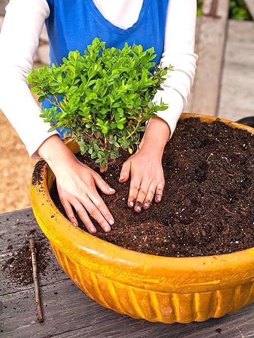 Растения самшита можно успешно культивировать в контейнерах и вазонах