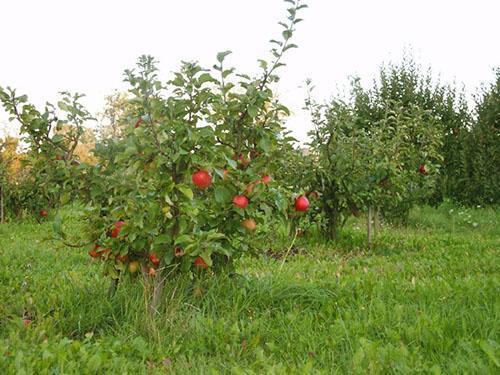 Сад карликовых яблонь