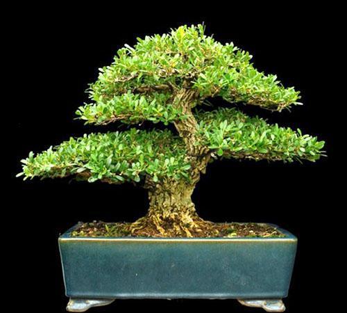 Самшит - идеальное растение для бонсай