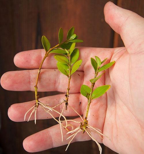 Самый удобный способ размножения самшита, это укоренением зеленых черенков