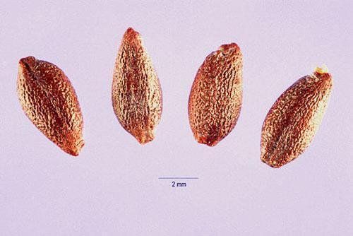 Семена барбариса