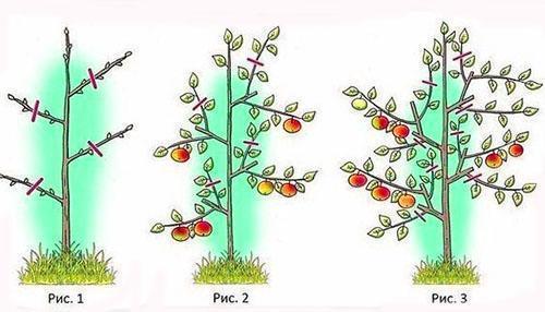 Схема обрезки колонвидной яблони