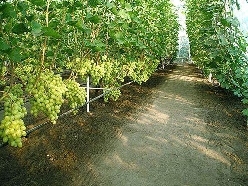 Соблюдение агротехники выращивания винограда дает хорошие результаты