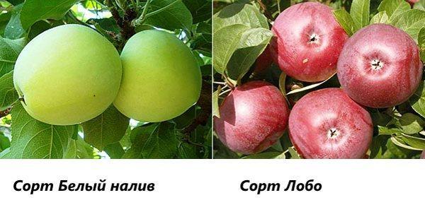 Сорта яблони Белый налив и Лобо