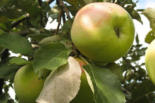 Созревает один из самых вкусных сортов яблок