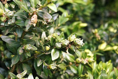 Созревание плодов самшита