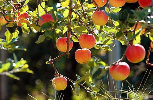 Спелые наливные яблочки