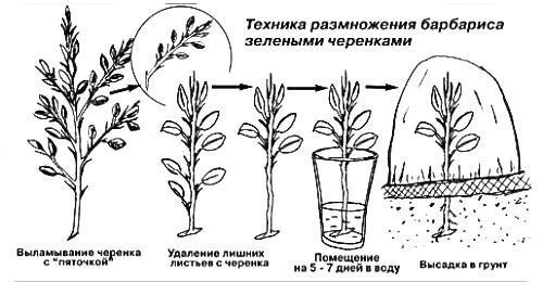 Техника размножения зелеными черенками