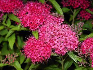 Удивительной красоты цветы спиреи японской