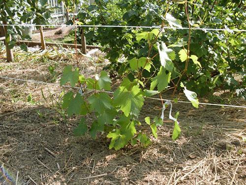 Уход за виноградом в первый год
