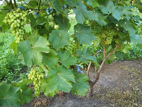 Ухоженный куст винограда с созревающими гроздями