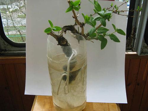 Как размножить жимолость черенками