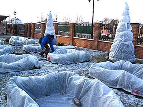 Укрытие на зиму посадок самшита с помощью нетканого материала
