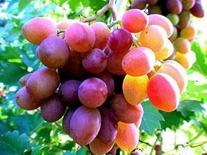 Урожай винограда в средней полосе России